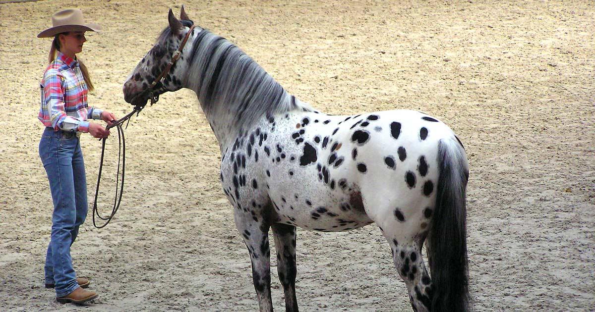 Exploring The History Of The Appaloosa Horse Breed The Last Ridethe Last Ride